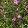 Purple Gerardia (Agalinis purpurea)