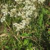 Hyssop-leaved Boneset (Eupatorium hyssopifolium)