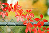 Virginia creeper, after the first frost.