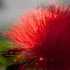 Red Powder Puff