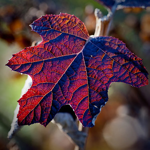 Winter Red Leaf