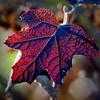 Winter Red Leaf