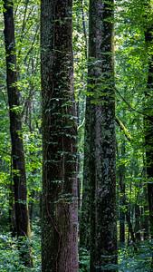 Magruder Trees