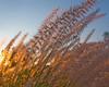 Fountain Grass Sunset