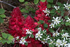 Snowplant and Serviceberry-2336