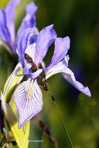 Iris- Western Blue Flag-