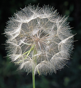 Seed Head - Ready to Blow in the Wind
