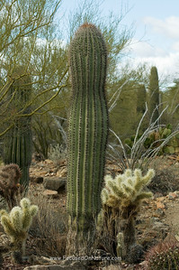 Saguaro and Chollas