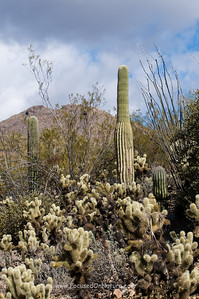 Saguaros and Chollas
