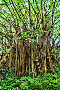 Banyan Tree in Akaka Falls State Park, Big Island, Hawaii