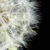 Taraxacum officinale, Dandelion clock