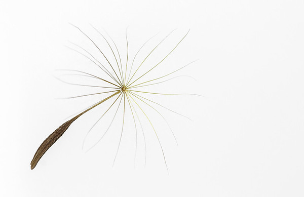 Taraxacum officinale, Dandelion