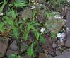 Crooked-stem Aster (Symphyotrichum prenanthoides)