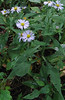 Lowrie's Aster (Symphyotrichum lowrieanum)