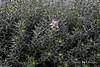 Westringia fruitcosa