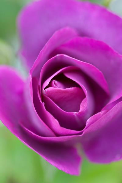Bright Purple Rose