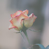 Roses   March 2010