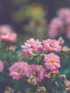 Raleigh Municipal Rose Garden | Raleigh, North Carolina