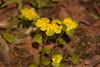 Alternate-leaved Golden Saxifrage<br /> Селезёночник очерёднолистный или Селезёночник обыкнове́нный<br /> Chrysosplenium alternifolium
