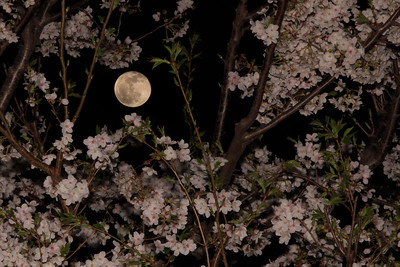 Full Moon Sakura 2013