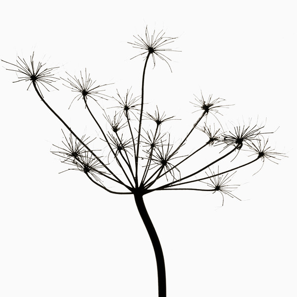 Cow Parsley Plant