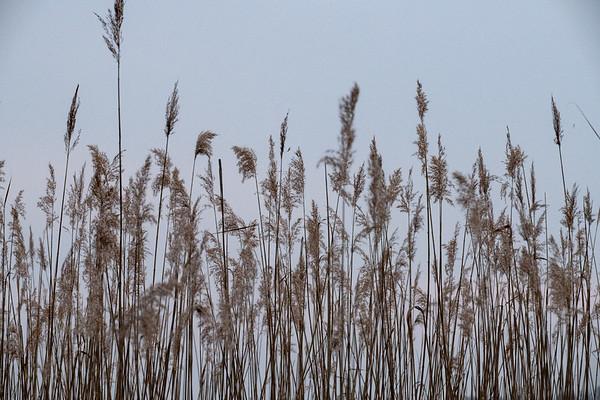 Schilfgürtel am lütten See