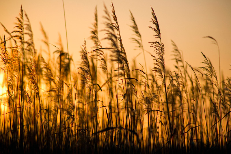 Phragmites australis, Norfolk reeds