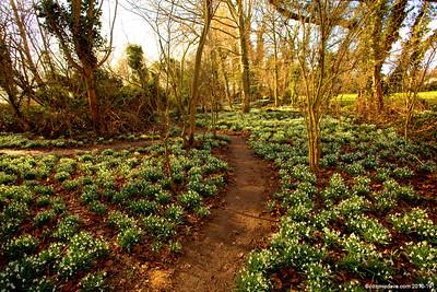 Snowdrop Garden 014