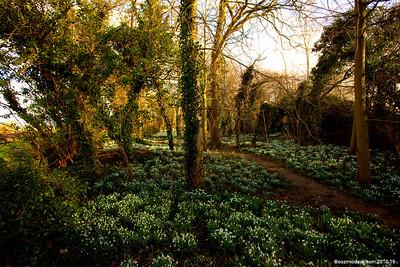 Snowdrop Garden 016