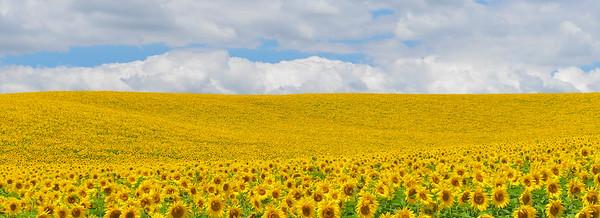 BT Sunflower Nr.:  42-43879265