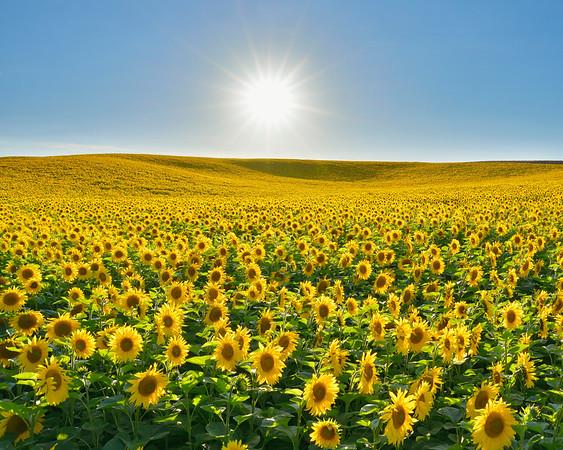 BT Sunflower Nr.:  42-43879277