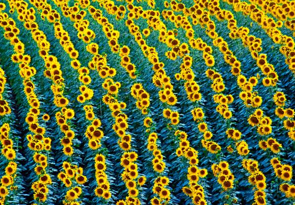 BT Sunflower Nr.:  42-21616859