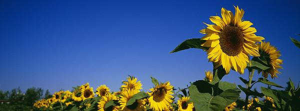 BT Sunflower Nr.:  42-23754080