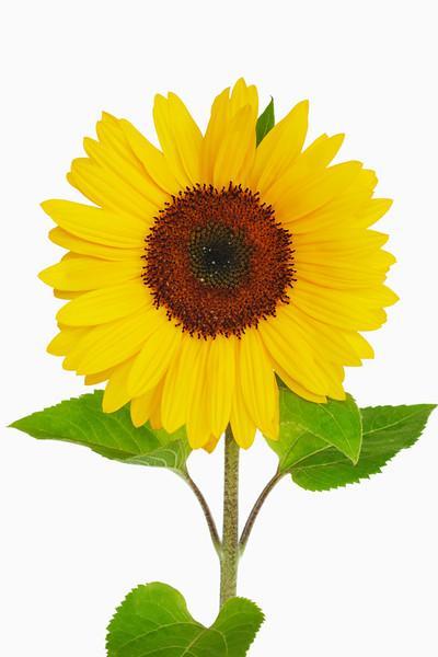 BT Sunflower Nr.:  42-52701511