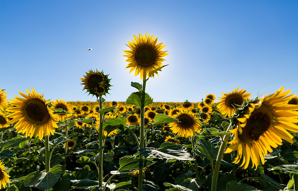 BT Sunflower Nr.:  42-50343400