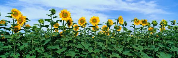 BT Sunflower Nr.:  42-25229832