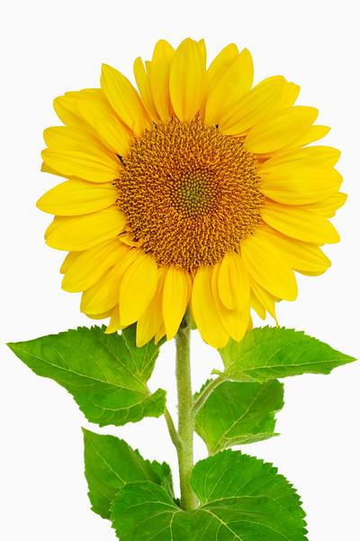 BT Sunflower Nr.:  42-52701521