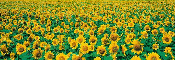 BT Sunflower Nr.:  42-24044401
