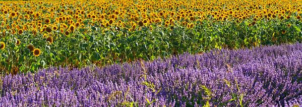 BT Sunflower Nr.:  42-49218954