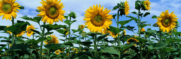 BT Sunflower Nr.:  42-25229834