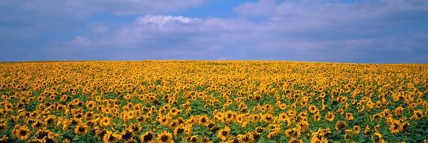 BT Sunflower Nr.:  42-15348099