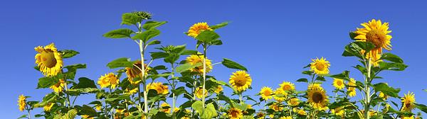 BT Sunflower Nr.:  42-51678603