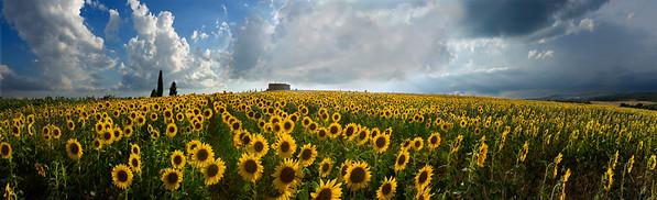 BT Sunflower Nr.:  42-24597037