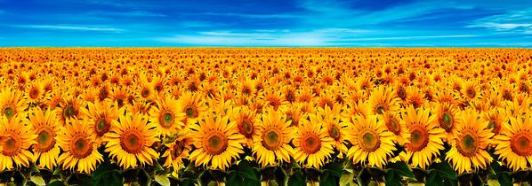 BT Sunflower Nr.:  42-27214815