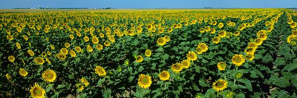 BT Sunflower Nr.:  42-19469672