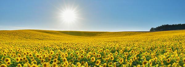 BT Sunflower Nr.:  42-43879275