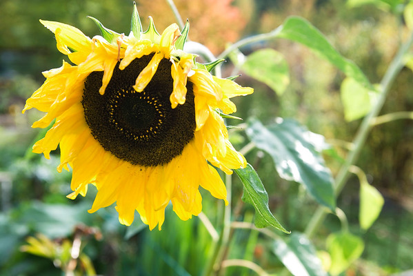BT Sunflower Nr.:  42-22865157