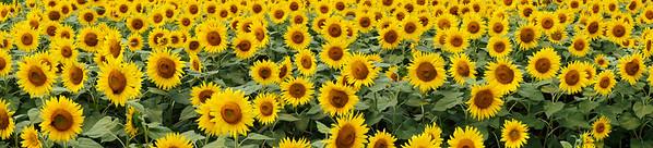 BT Sunflower Nr.:  42-44659199