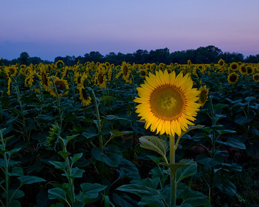 Sunflower Lightpainting