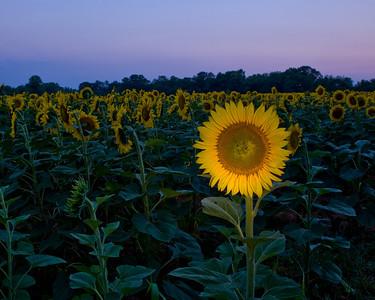 Sunflower Lightpainting